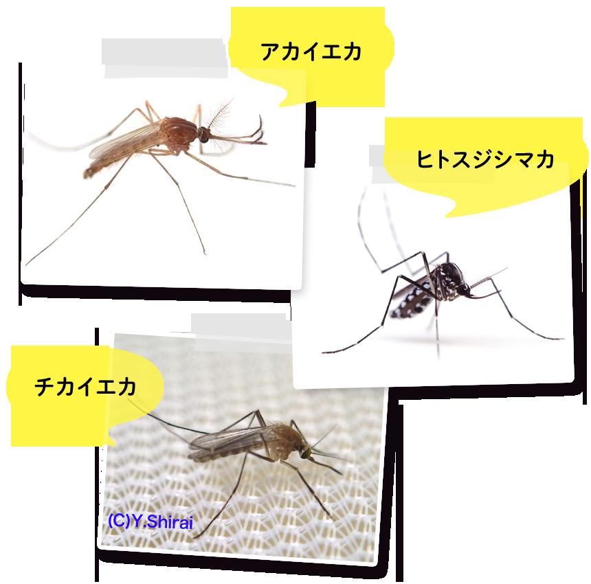 蚊 違い ブヨ